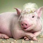 Nằm mơ thấy con heo là số gì – Mơ thấy con lợn đánh con gì ?