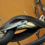 Điềm báo mơ thấy rắn đen trắng đánh con gì? Điềm báo gì?
