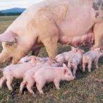 Mơ thấy lợn đẻ đánh đề số mấy, có ý nghĩa gì