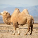 Mơ thấy con lạc đà là điềm báo gì? Nên đánh lô đề con gì?
