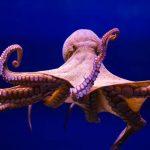 Nằm mơ thấy mình mang một con bạch tuộc có ý nghĩa gì?