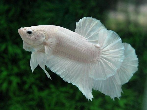 mơ thấy bắt được con cá trắng